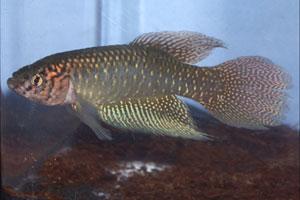Simpsonichthys papilliferus Inoa