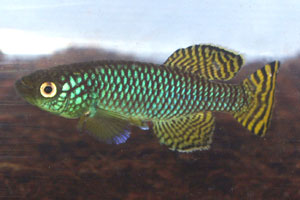 Nothobranchius korthausae Kwachepa TZL 53-01