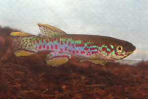 Fundulopanchax nigerianus Jos Plateau