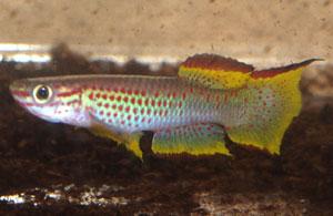 Aphyosemion gabunense marginatum Bengui 1-2 GJS00/29