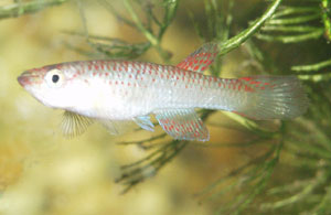 Aphyosemion sp. Oyo Female