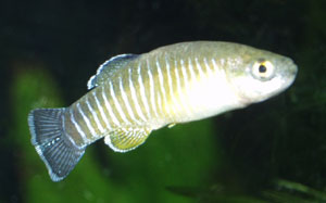 Aphanius sophiae male