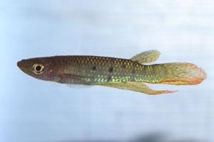 Aplocheilus dayi werneri