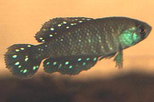 Austrolebias duraznensis