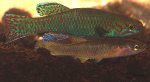 Aphyosemion joergenscheeli Nguambanga GJS 00-13