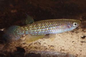 Aplocheilus kirschmeyeri Goa 91