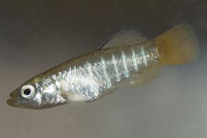 Aphanius fasciatus Saline de Cervia 2003