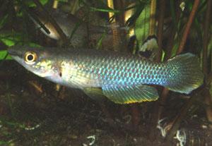 Aplocheilus panchax panchax