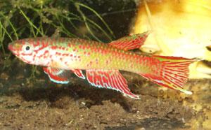 Aphyosemion sp. Oyo