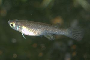 Foerschichthys nigeriensis