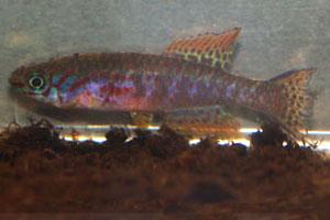 Fundulopanchax arnoldi Ughelli TR 01
