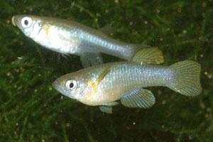 Lacustricola bukobanus