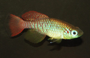 Nothobranchius annectens