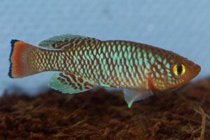 Nothobranchius rachovii Nicuadala MZHL 05-5