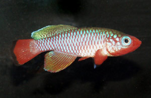 Nothobranchius rubripinnis