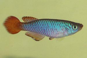 Nothobranchius geminus
