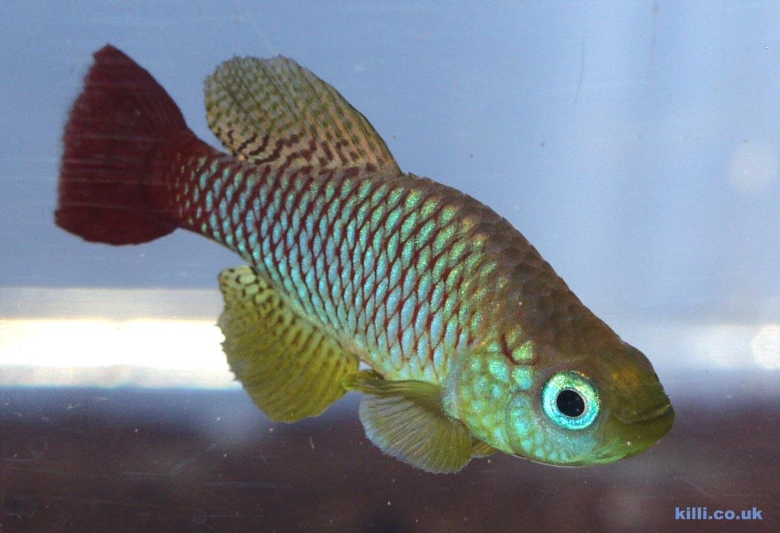 Nothobranchius foerschi TZ 91-103 male