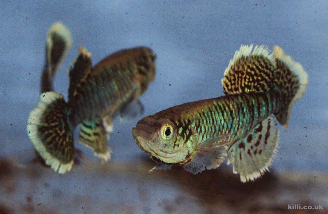 Nothobranchius eggersi Kigongo TAN RB 05-43