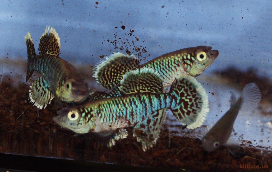 Nothobranchius eggersi Kigongo TAN RB 05-43. Male fish undertake a vigorous display with fins raised all round.