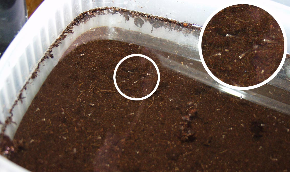 Two day old Nothobranchius fry in a few centimetres of water, above the peat from which they hatched
