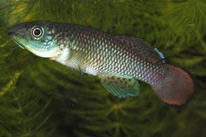 Nothobranchius lucius