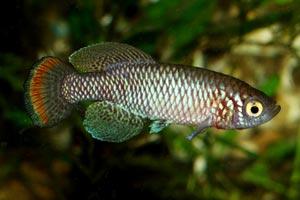 Nothobranchius pienaari