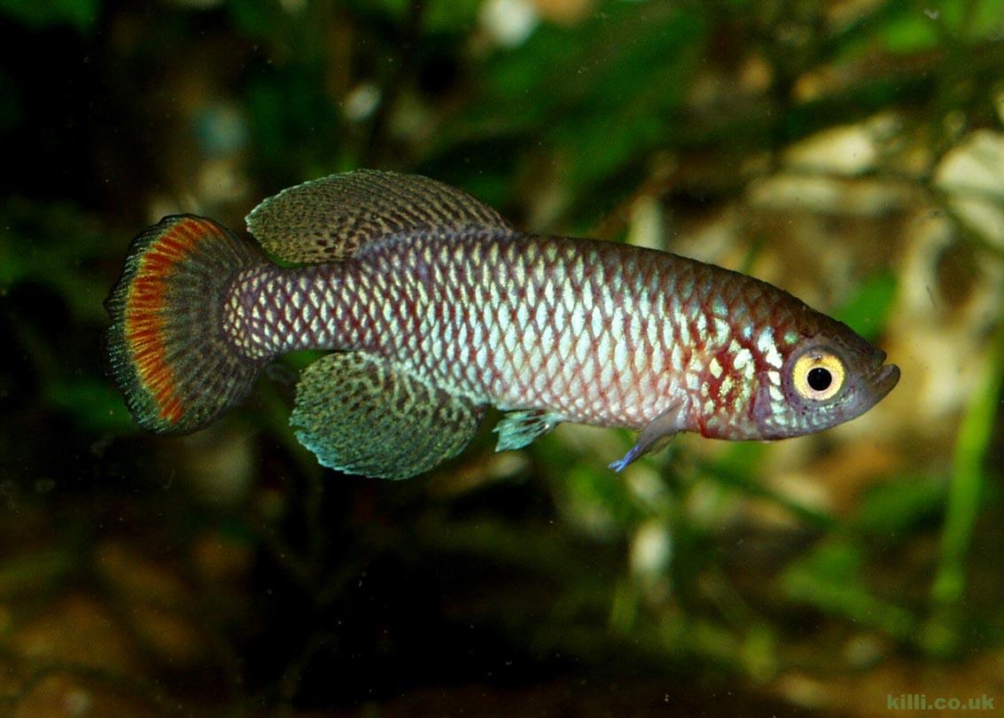 Nothobranchius pienaari MOZ 04-13 Mazimechopes River. A nice male