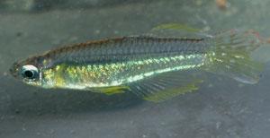 Poropanchax luxophthalmus luxophthalmus