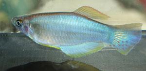 Procatopus aberrans Aquarium strain. A large male