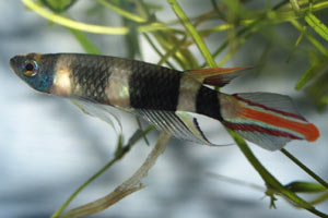 Pseudoepiplatys annulatus . A brightly coloured male.