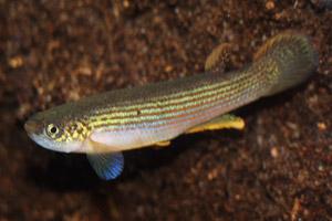 Rivulus rubrolineatus male