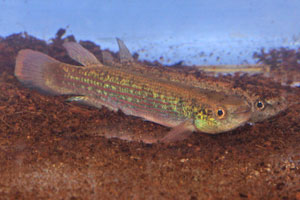 Rivulus waimacui This killifish come from Guyana, South America. Male foreground, female behind.