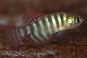 Simpsonichthys delucai Male