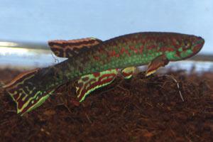 Scriptaphyosemion geryi Abuko male