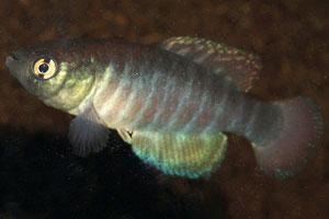 Simpsonichthys ocellatus