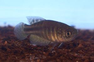 Simpsonichthys perpendicularis