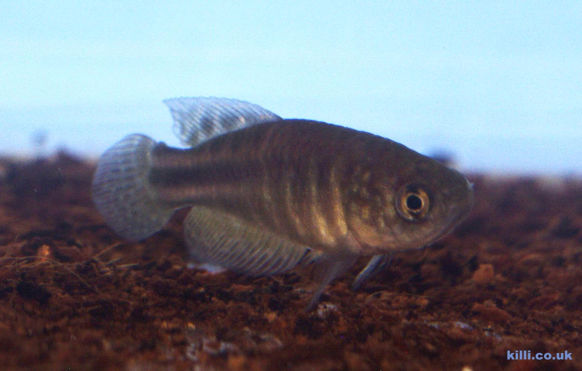 Simpsonichthys perpendicularis male