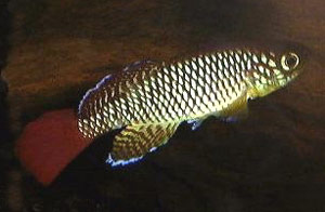 Nothobranchius albimarginatus Kiparanganda TAN 98-13.