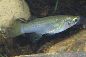 Aplocheilicthys spilauchen female