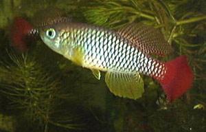 Nothobranchius elongatus Mariakani K96.