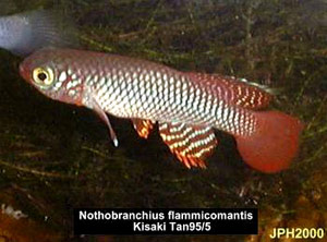 Nothobranchius flammicomantis Kisaki TAN 95-5.