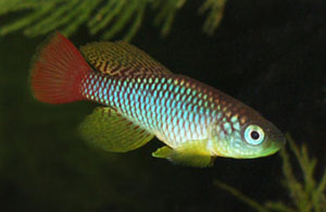 Nothobranchius foerschi