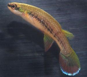 Rivulus frenatus