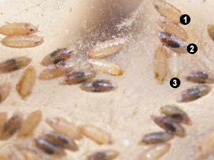Drosophila pupae