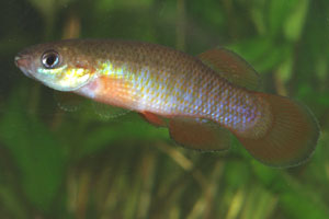 Fundulus cingulatus A mature male