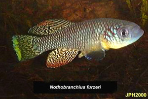 Nothobranchius furzeri original Ghona Re Zhou population