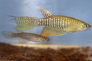Gnatholebias zonatus Finca BBL 01-6. Pair.