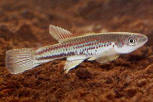 Aphyosemion hofmanni