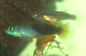 Nothobranchius janpapi Ruvu
