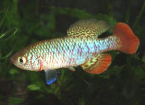 Nothobranchius kafuensis Nega Nega